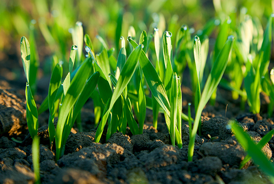 NEW SEED TREATMENT FOR CEREALS COMBINES THREE FUNGICIDES FOR MAXIMUM PROTECTION